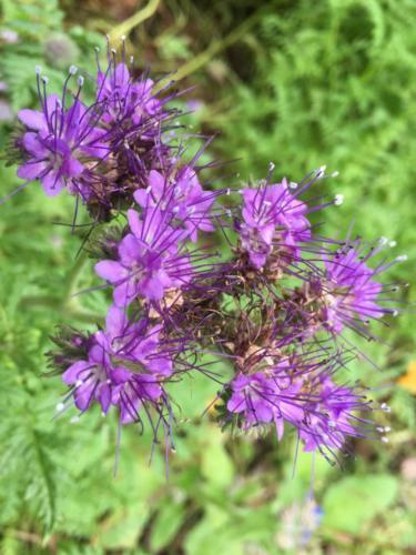 phacaelia flowers
